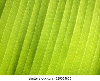 banana leaf in the light.