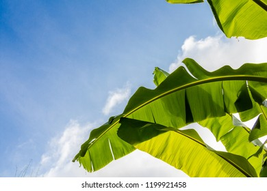 Banana leaf in oblique line with blue sky background for copy space