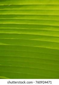 banana leaf with sun light