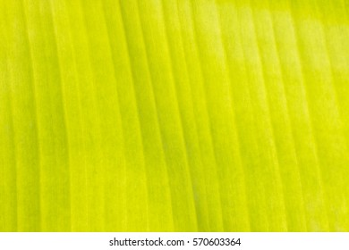 Banana leaf texture abstract background