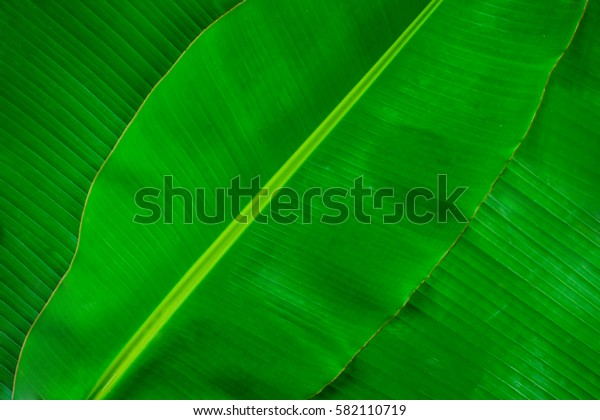 Banana leaf texture abstract background.