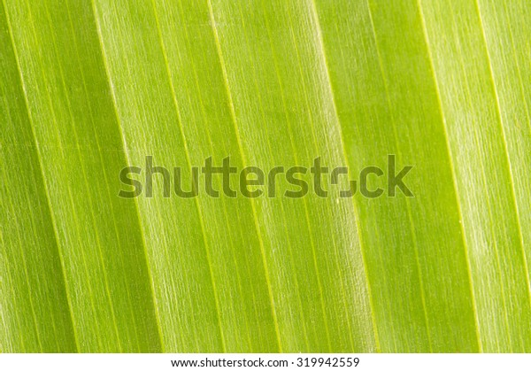 Banana leaf texture background