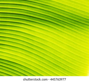 Banana leaf texture, green and fresh background