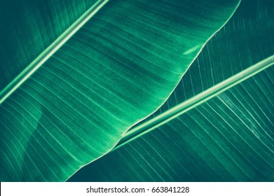banana leaf, tropical dark green large foliage