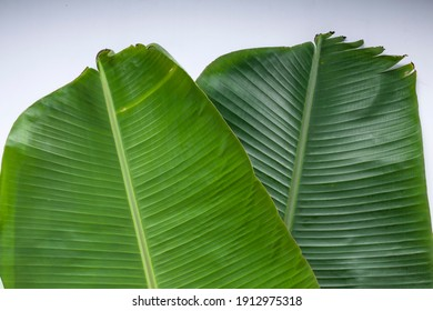 Banana leaf,fresh dark green and tender banana leaf textured background which is mostly used in south india for feast  as plates ,making snacks items and packing food, white colour background.