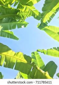 Banana leaves and blue sky.