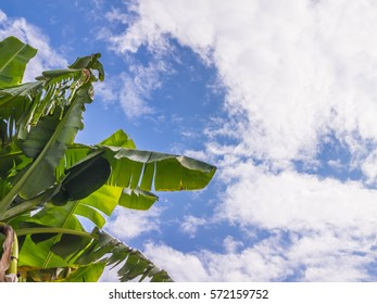 banana leaves and the sky