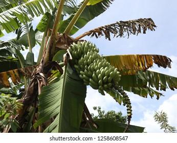 banana on Samosir island