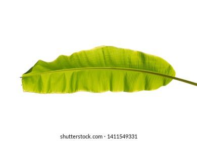 Banana palm leaf isolated on white background.