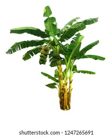 Banana palm tree isolated with clipping paths for garden design.Big tree with a bunch of bananas.Economic crops of tropical countries are gaining popularity.The fruit that people around the world love