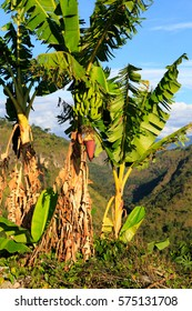 banana palmes colombia jungles south america