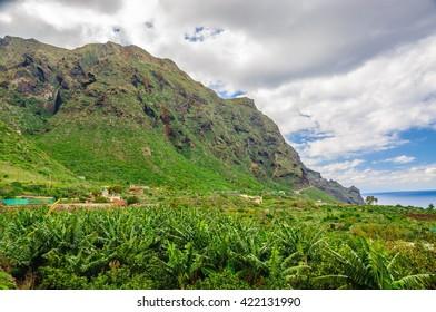 Banana palms plantation in Tenerife, Canary Islands