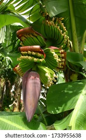 Banana plant with a bunch and flower in a banana plantation in Martinique .