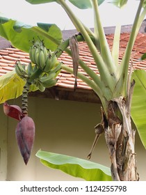 Banana plant with fruits and flower in the tropical garden, Nha Trang, Vietnam