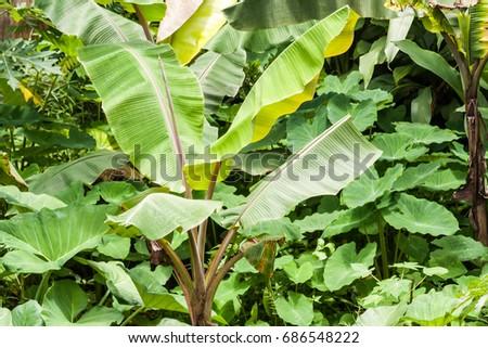 Banana Plant Home Garden Kerala Stock Photo Edit Now 686548222