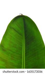 Banana plant leaf on white isolated
