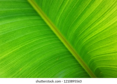 banana plant leaf texture as very nice natural background
