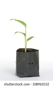 Banana plant in the plastic bag on white background