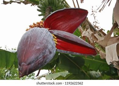 Banana plant, red leaves, Morocco