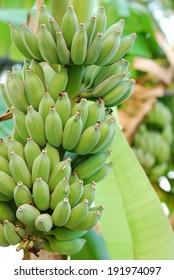 banana plant  in thailand