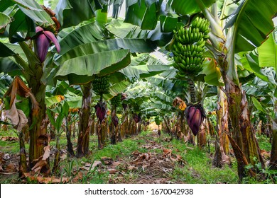 Banana plantation in Gran Canaria, Canary Islands (branch and flower), February 2020