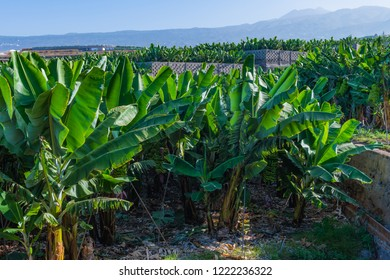 Banana plantation with the Los Gigantes rock in the background. Tenerife. Canary Islands.