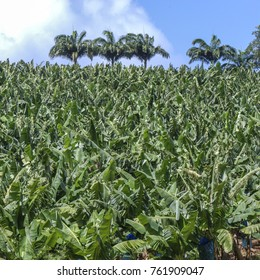 Banana plantation in Martinique