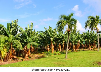 banana plantation, martinique, caribbean