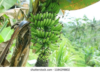 Banana plantation on Bali