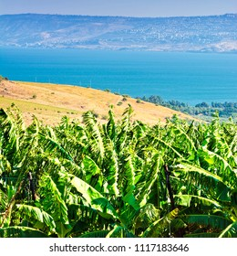Banana Plantation on the Golan Heights near Kinneret. Banana plantation on the bank of the lake Tiberias on the background of Galilee mountains.