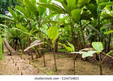 Banana plantation, Seychelles