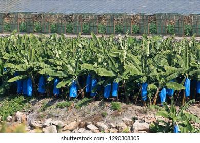 Banana plantations in the suburbs of Alanya.