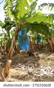 Banana plants with bunch in a banana plantation in Martinique .