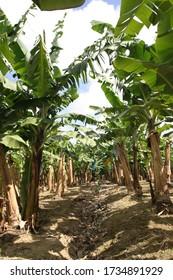 Banana plants in a banana plantation in Martinique .