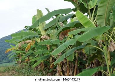 banana, Pygmy Shrew, Musa acuminata