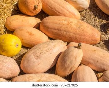 Banana squash plants are a member of the Cucurbita family (Cucurbita maxima).