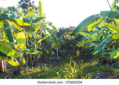 Banana tree , Agricultural plantation at Chantaburi Thailand.