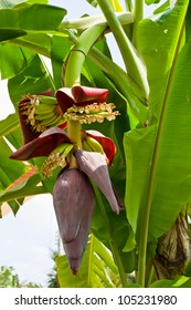 Banana tree with a blossom