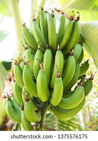 Banana tree with blue fruits growing