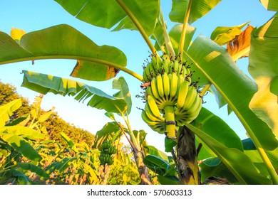Banana tree with bunch, Agricultural plantation at Chantaburi Thailand.