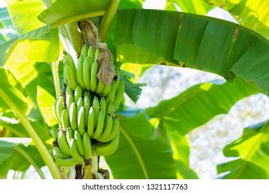 Banana tree with  bunch of bananas