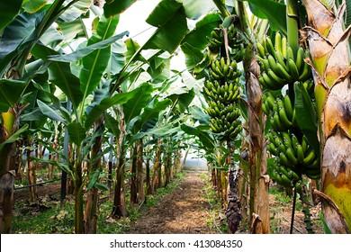 Banana tree with a bunch of growing bananas, Alanya, Turkey