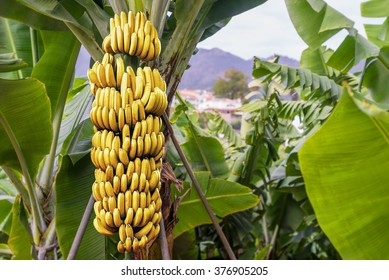 Banana Tree With Bunch Of Growing Ripe Yellow Bananas Plantation Rain Forest Background