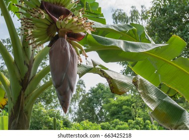Banana tree with bunch of growing ripe green bananas. Banana trees in lush tropical garden.