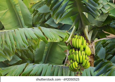 Banana tree with a bunch of young green bananas