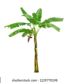 Banana tree with bunches and flowers isolated on white background with clipping paths for garden design.Economic crops of tropical countries are gaining popularity.