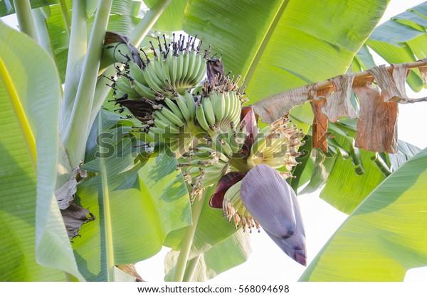 Banana  tree in the garden.
