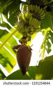 Banana tree with banana in the gerden