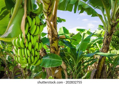 Banana tree with green bananas