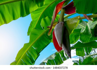 Banana tree and green leaves with banana blossom. Banana heart is raw material for make vegan fish and meat. Vegan food star. Meat free alternatives food. Plant-based meals. Purple skinned flower.
